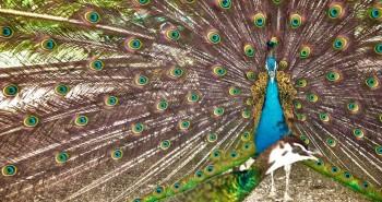peacock_pawie_@Doug88888_Flickr